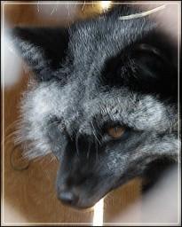 Лисичка чёрная