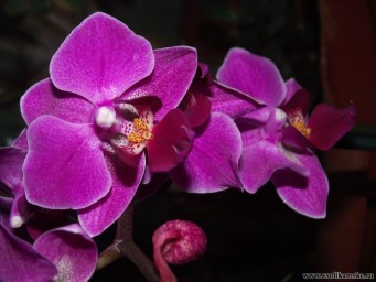 моя первая орхидея