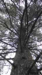 Деревья, если смотреть на них снизу