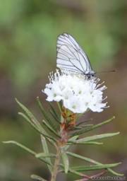 Багульник цветет10844